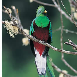 In our guided tours we have spotted up to 14 quetzals in a single day